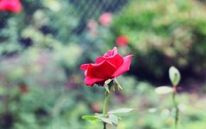 Картинка зелень, цветы, фон, widescreen, обои, розовая, роза, размытие, лепестки, стебель, wallpaper, цветочки, широкоформатные, background, полноэкранные, …