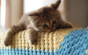 Картинка кошка, диван, плед, котёнок