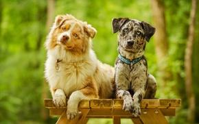Обои собаки, взгляд, позирование, парочка