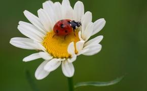 Картинка цветок, природа, божья коровка, жук, лепестки, ромашка, насекомое