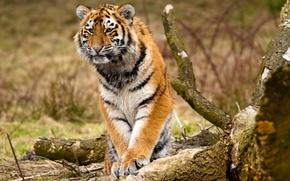 Обои животные, деревья, природа, хищники, лапы, бревно, дикие кошки, брёвна, сибирские тигры