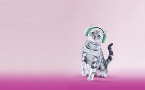 Обои кошка, британец, меховые, котёнок, наушники, кот