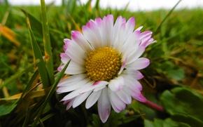 Картинка цветок, трава, макро, ромашка, grass, Flowers, macro, beauty