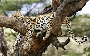 Обои леопард, сон, удобный, дерево