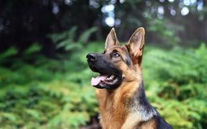Картинка морда, собака, боке, овчарка