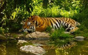 Обои вода, тигр, пруд, умиротворение