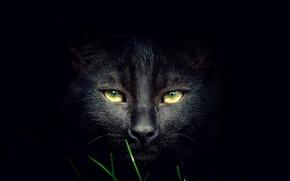 Обои морда, кот, чёрный, кошка