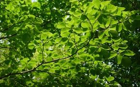 Картинка зелень, лето, макро, ветки, дерево, листва