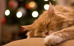 Обои лежит, домашнее животное, отдых, спит, рыжий, сон, кот