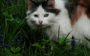 Картинка кошка, лето, трава, трехцветная, разноглазая