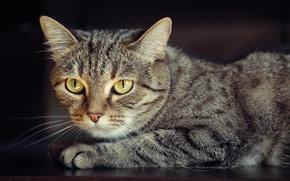 Картинка кошка, обои, портрет