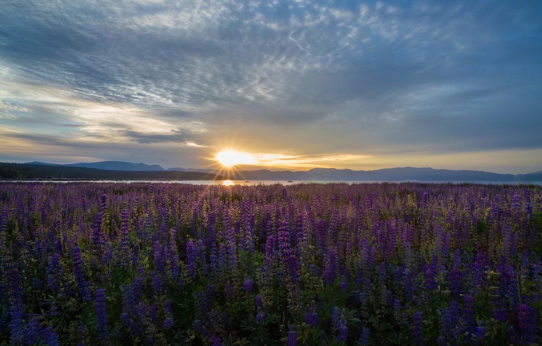 Фото обои цветы, озеро, восход, рассвет, луг, Калифорния, Невада, California, Nevada, Lake Tahoe, люпины, озеро Тахо
