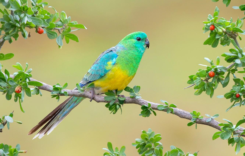 Фото обои ветки, фон, птица, попугай, Певчий попугай