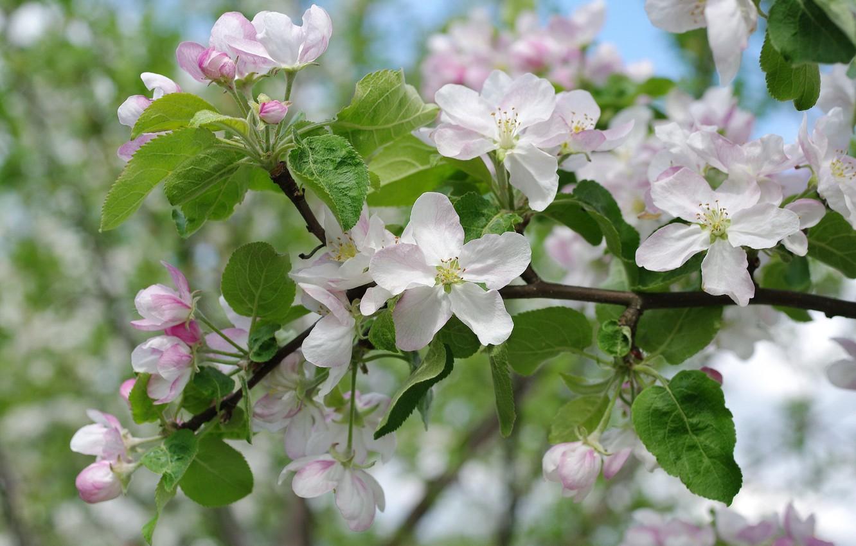 фото яблоня в цвету большого разрешения воздухе застыло время