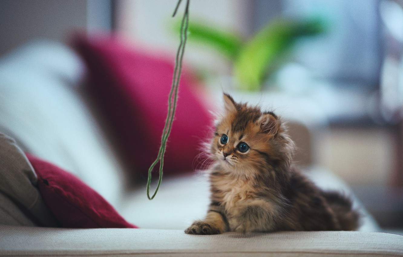 Обои котёнок, daisy, Кошка, ben torode. Кошки foto 9