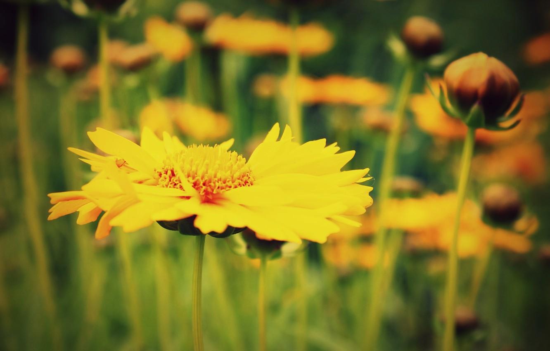 Фото обои макро, цветы, желтый, зеленый, фон, widescreen, обои, размытие, wallpaper, цветочки, широкоформатные, background, полноэкранные, HD wallpapers, …