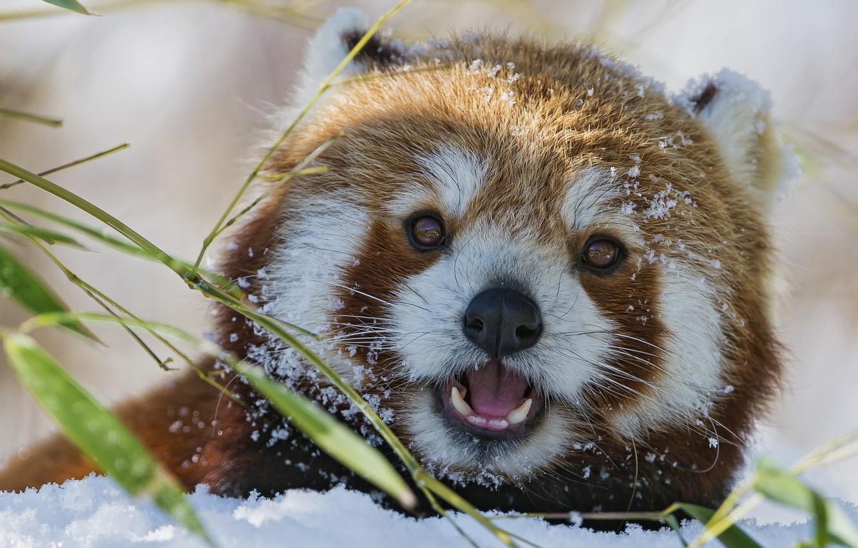 Фото обои зима, морда, снег, бамбук, красная панда, firefox, малая панда, ©Tambako The Jaguar