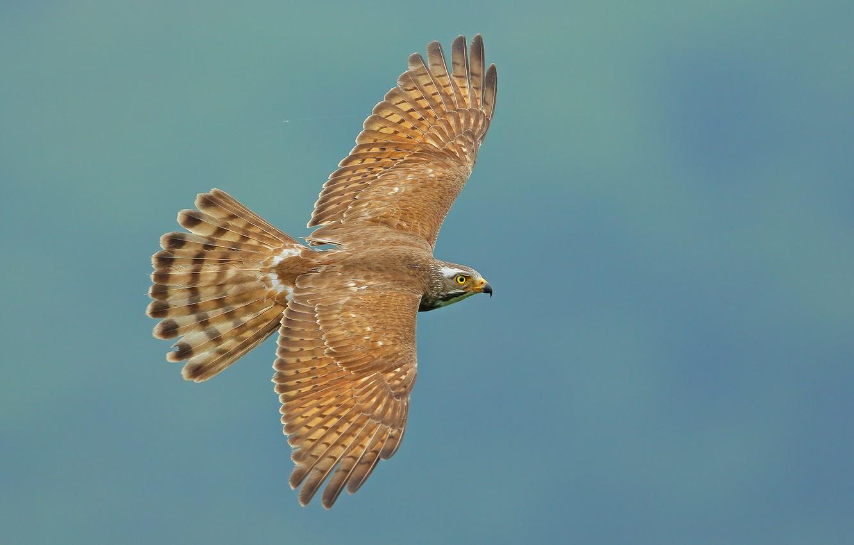Фото обои птица, крылья, полёт, взмах, Ястребиный канюк, Butastur indicus, Grey-faced buzzard