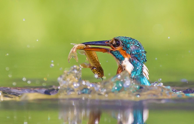 Фото обои вода, брызги, птицы, природа, отражение, птица, рыба