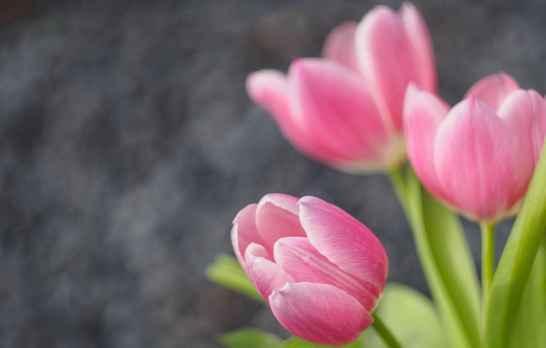 Фото обои тюльпаны, бутоны, боке