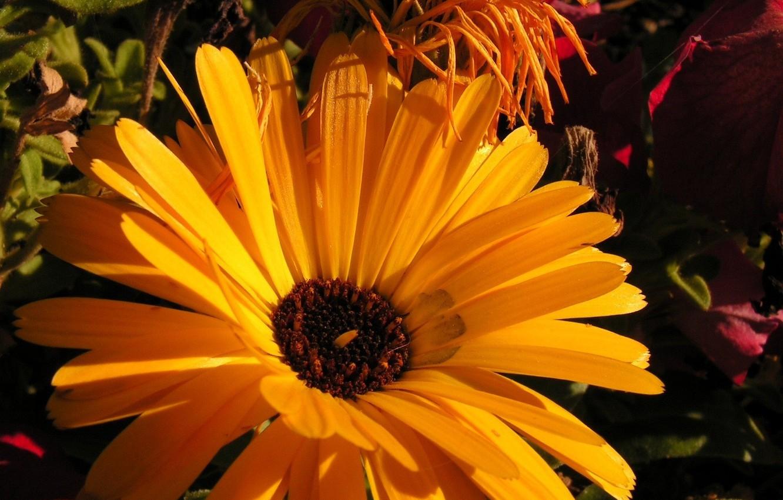 Фото обои цветок, желтый, природа