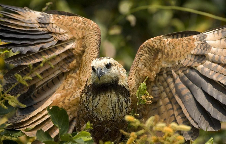 Фото обои Листья, Крылья, сокол