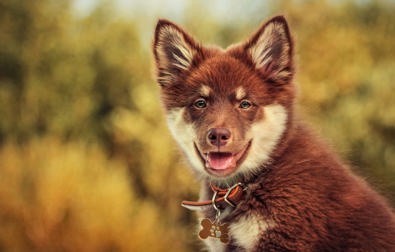 Обои Собака, Финский лаппхунд, морда. Собаки foto 16