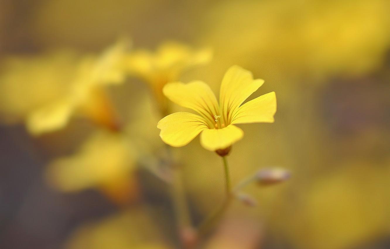 Фото обои желтый, фон, widescreen, обои, размытие, лепестки, wallpaper, цветочки, flower, широкоформатные, background, полноэкранные, HD wallpapers, цветочек, …