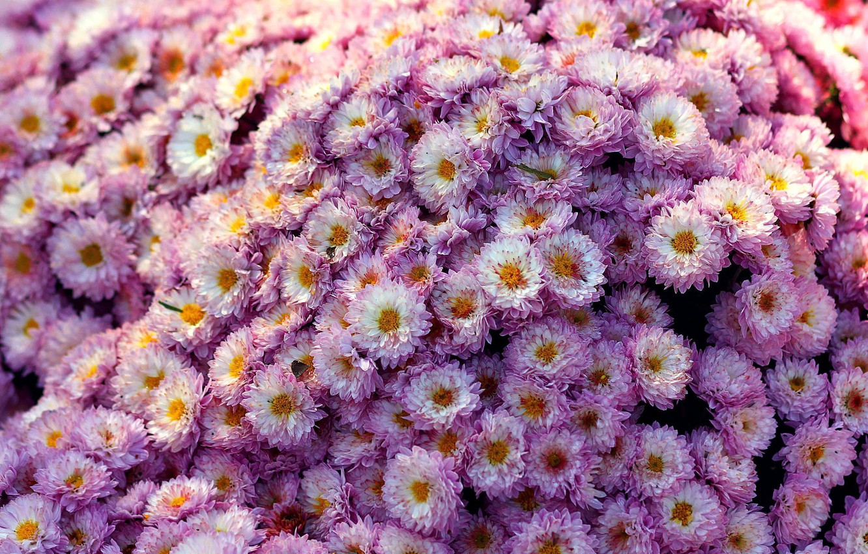 Фото обои цветы, flower, хризантемы, мелкие, Chrizantenum