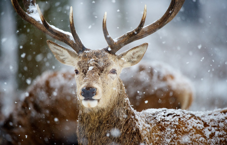 Фото обои снег, олень, рога