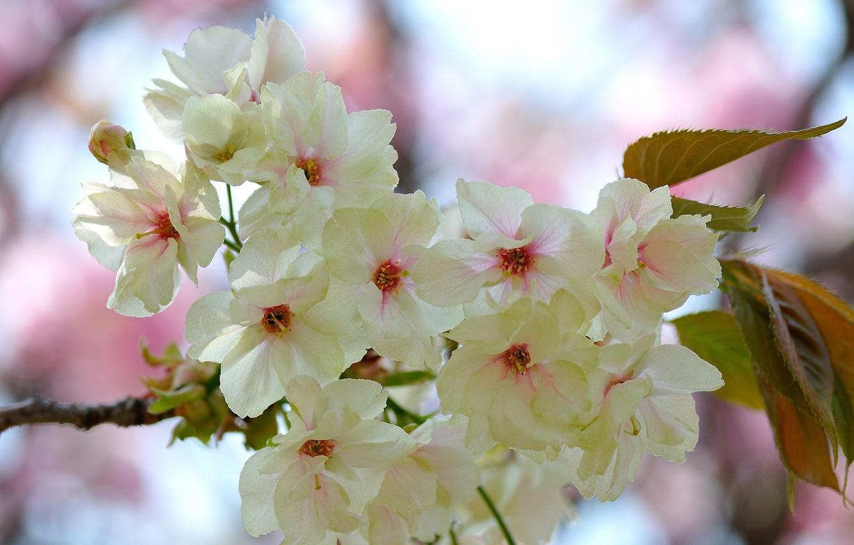 Фото обои листья, цветы, ветка, весна, цветение, бело-розовые