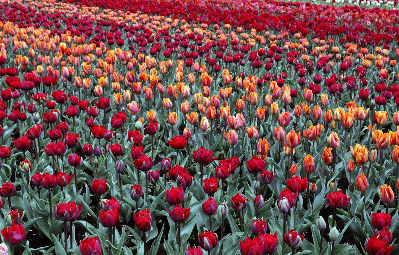 Картинки голландия тюльпаны, баба ягодка