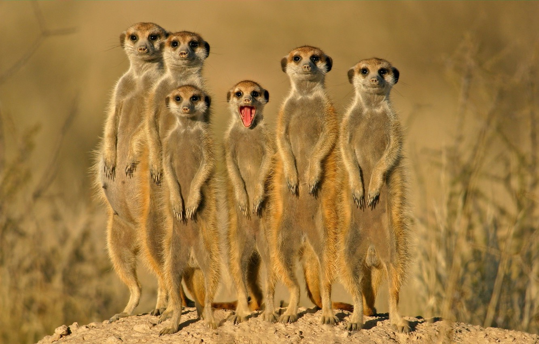 Фото обои группа, зверьки, сурикаты