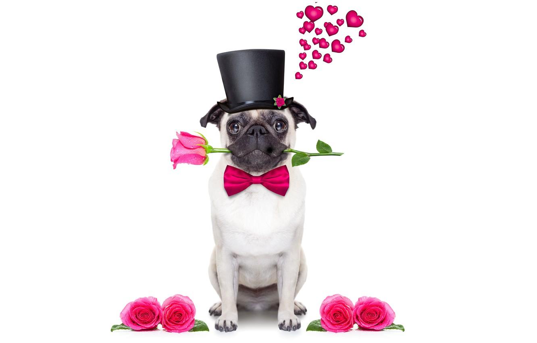 Фото обои собака, love, rose, heart, dog, romantic, funny, cute