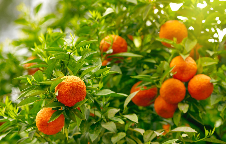 Фото обои апельсины, фрукты, leaves, fruits, oranges
