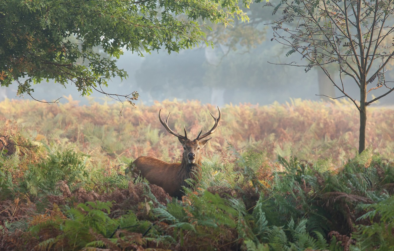 Фото обои осень, трава, деревья, природа, олень, рога, папоротник, марал