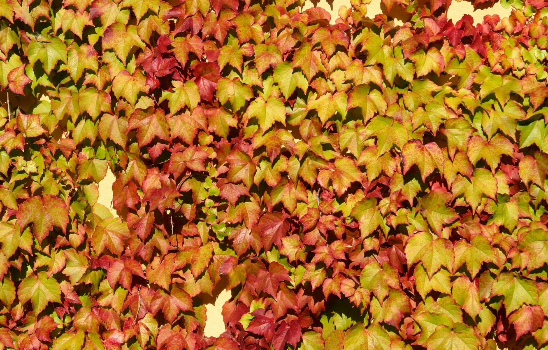 Фото обои wall, vine, leaf colors