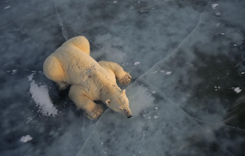 Обои льдина, Медведь, мишка, один. Разное foto 6