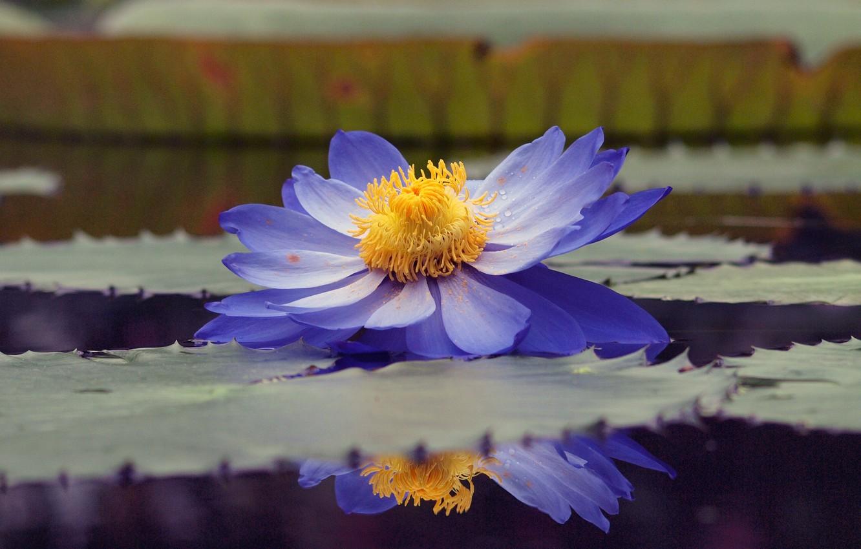 Фото обои листья, вода, капли, пруд, отражение, пыльца, голубой, лотос, кувшинка, водяная лилия