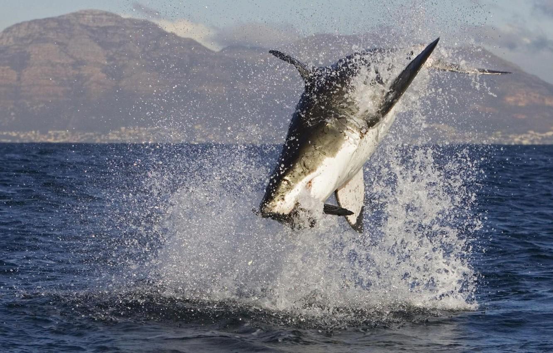 Фото обои океан, рыба, акула, добыча, shark