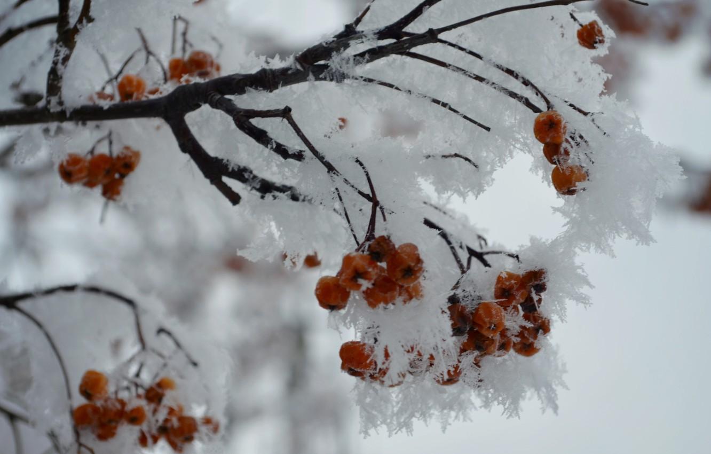 Фото обои зима, белый, снег, снежинки, оранжевый, ветки, рябина, рябинка