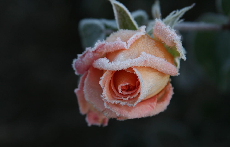 Обои цветок, цветы, иней, обои, Мороз. Макро foto 12