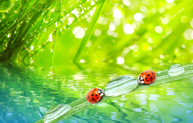 Фото обои трава, вода, капли, макро, природа, роса, утро, nature, water, божьи коровки, macro, morning, the grass, …