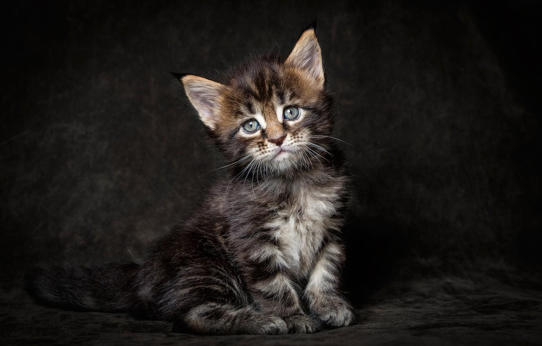 Фото обои кот, взгляд, темный фон, котенок, Мейн-кун, Maine coon