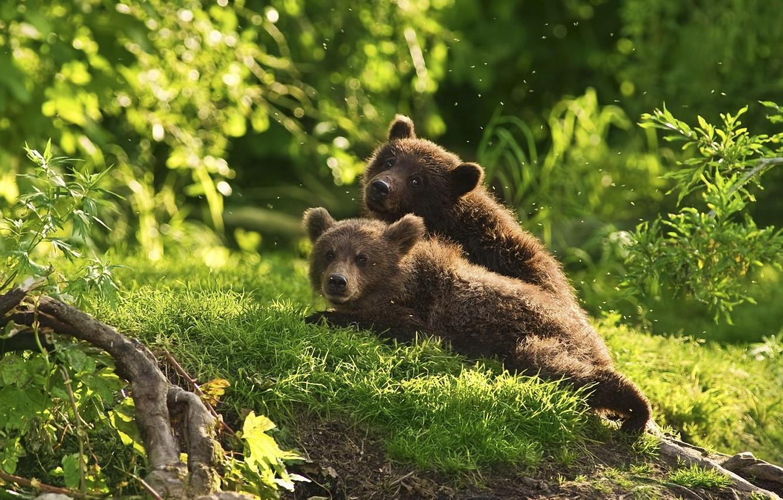 Фото обои лес, животные, медведи, комары