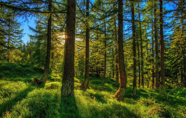 Фото обои Природа, Трава, Деревья, Швейцария, Лес, Ель, Ствол