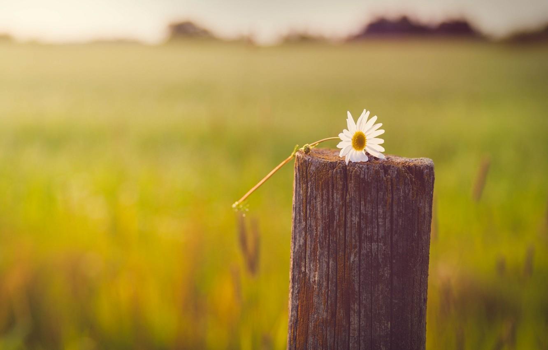Фото обои белый, макро, цветы, желтый, фон, дерево, widescreen, обои, настроения, размытие, столб, ромашка, wallpaper, цветочки, широкоформатные, …