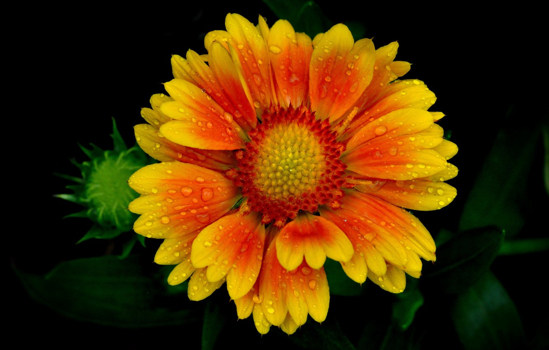 Фото обои цветок, капли, роса, лепестки
