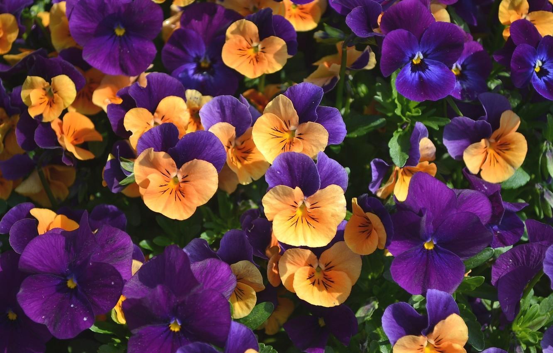 Обои цветы, анютины глазки. Цветы foto 9