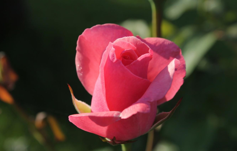 Фото обои макро, розовая, роза, зелёный